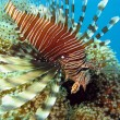 Lionfish on coral reef — Stock Photo #11976579