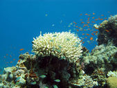 Coral reef with exotic fishes — Photo