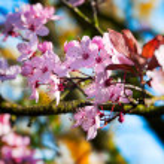 roze pruim Lentebloemen - ondiepe scherptediepte — Stockfoto #11429446