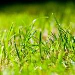 Green Summer grass - macro — Stock Photo