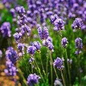 Lavender field - close up — Stock Photo