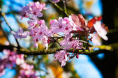 Spring pink plum flowers - shallow depth of field — Stock Photo