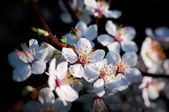 Spring plum flowers - shallow depth of field — Stock Photo
