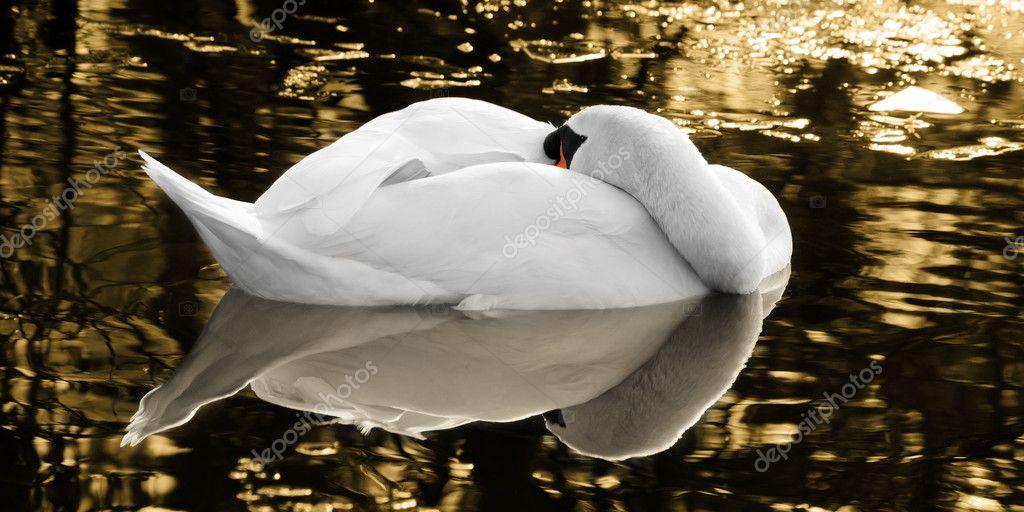Как спит лебедь