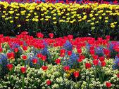 00314 - Tulips in bloom — Stock Photo