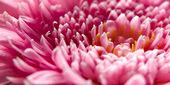 маргаритка розовый цветок - макрос — Стоковое фото