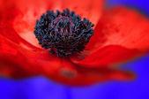Poppy macro - blue background — Stock Photo