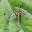 Raft spider (Dolomedes fimbriatus) on a leaf — Stock Photo