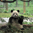 Chinese Panda — Stock Photo #11556642