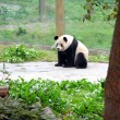 panda chinois — Photo #11556656