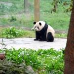 中国のパンダ — ストック写真