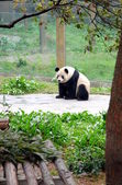 Chinese Panda — Stock Photo