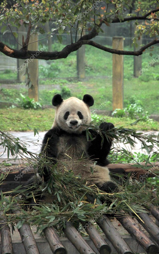 A Chinese giant panda at the Chongqing zoo — Stock Photo #11556642