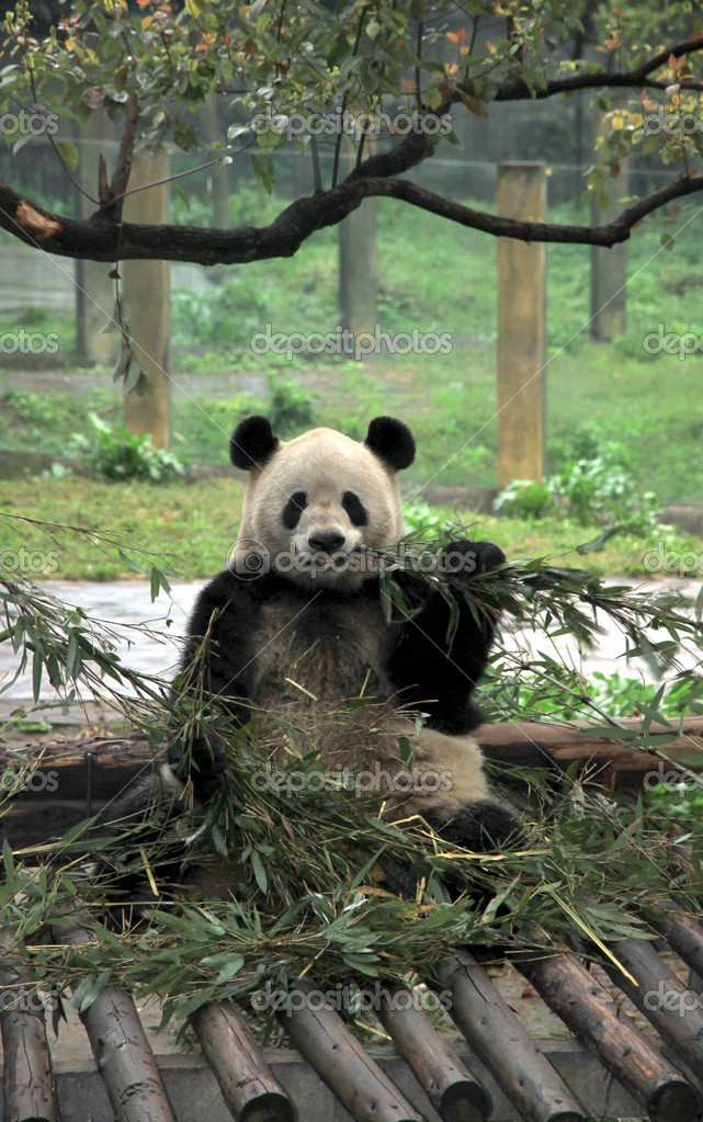 A Chinese giant panda at the Chongqing zoo — Stok fotoğraf #11556642