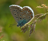 Plebejus argus, Licenide (Lepidottero) — Stock Photo