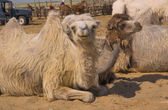 Bactrian camels at the farm — Stockfoto