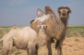 Young camel and adult female camel — ストック写真