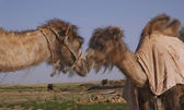 Two bactrian camels kissing — Stock Photo