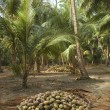 Harvest coconuts collected — Stock Photo