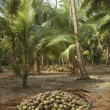 Stock Photo: Harvest coconuts collected