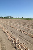 Onion field — Stock Photo