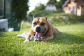 Dog playing on the grass — Stock Photo