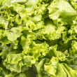 Fresh Lettuce — Stock Photo #11606328