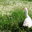Goose in the grass - Stock Photo
