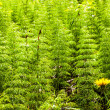 Bushes of horsetail — Stock Photo