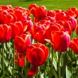 Field of red tulips — Stock Photo #11649659