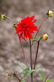 Red flower — Stock fotografie