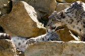 Snow leopard Uncia uncia — Stock Photo