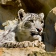 Snow leopard Uncia uncia — Stock Photo