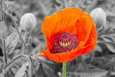 Red poppy — Stockfoto