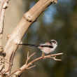 Long tailed tit — Stock Photo