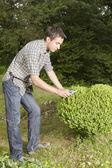 Uomo taglio e rifilatura cuore albero casella — Foto Stock