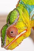 Colorful chameleon (2) — Stock Photo