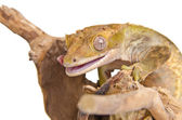 Crested gecko (3) — Stock Photo