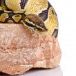 Ball python — Stock Photo