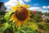 Sunflower bumblebees — Stock Photo