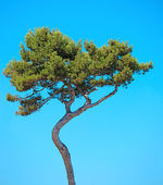 Maritime Pine curved tree on blue sky background. Provence, Fran — Stock Photo