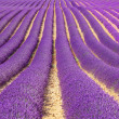 Stock Photo: Lavender flower blooming fields as pattern or texture. Provence,