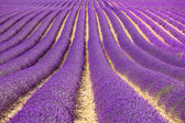 Lavender flower blooming fields as pattern or texture. Provence, — Stock Photo