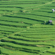Stock Photo: Paddy rice field in Bali, Indonesia