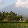 Paddy rice field bali — Stock Photo