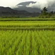 Stock Photo: Flat paddy rice field on Bali with mountains and heavy clouds in background