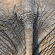 Stock Photo: Tail of Africelephant