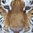 Closeup portrait of a male siberian tiger — Stock Photo