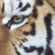 Eye of a male siberian tiger (Panthera tigris altaica) — Stock Photo