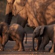 Stock Photo: Mother and two small baby africelephants crossing road at dusk